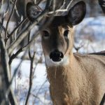 Chronic Wasting Disease In Tennessee, That Makes 24 States Potentially With 'Zombie' Deer