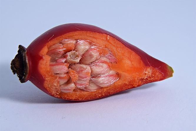 rosehip fruit layers