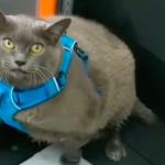 Cinderblock the Overweight Cat Begins Her Weight Loss Journey